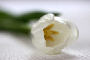 tulips40