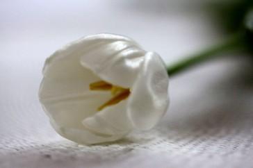 tulips41