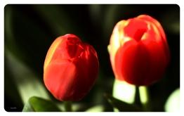 Tulips9872