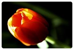 Tulips9873