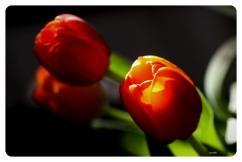 Tulips9874