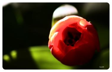 Tulips9875