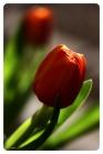 Tulips9877